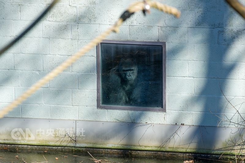 台北市立動物園金剛猩猩「寶寶」3月19日抵達荷蘭,在新家不時張望窗外,目前「寶寶」與一隻女猩猩相處良好,進展順利。(阿培浩爾靈長類公園提供)中央社記者唐佩君布魯塞爾傳真 107年3月21日