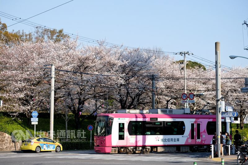 日本東京飛鳥山公園前的路面電車是跟一般汽車混合行駛,是一個拍攝路面電車與櫻花的好景點。中央社記者黃名璽東京攝  107年3月26日