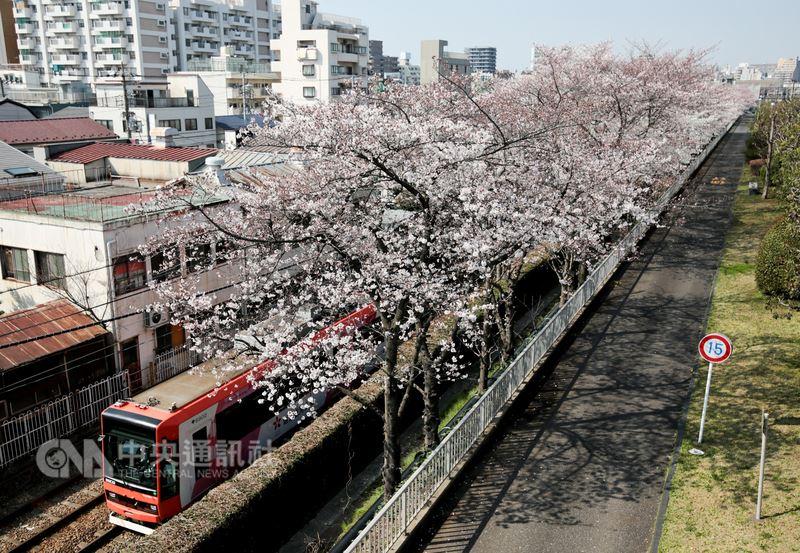 日本東京都電荒川線被暱稱為「櫻花路面電車」,主要是沿線不少區間種植櫻花樹,坐車時便可欣賞窗外美麗的櫻花。中央社記者黃名璽東京攝  107年3月26日