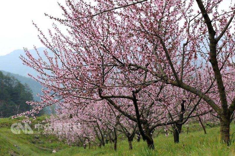 時序進入春季,桃花相繼開放,武陵農場內種植5.8公頃的桃林,現已陸續開花,美景宜人。圖為黃金桃花。(武陵農場提供)中央社記者趙麗妍傳真  107年3月27日