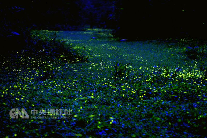4月賞螢季節,苗栗縣山區已開始出現螢火蟲的蹤跡,其中在三義西湖渡假村內透過相機拍攝,可看到銅錢草散發出藍色光點,與螢火蟲相互輝映,形成難得一見的畫面。(西湖渡假村提供)中央社記者管瑞平傳真 107年4月7日