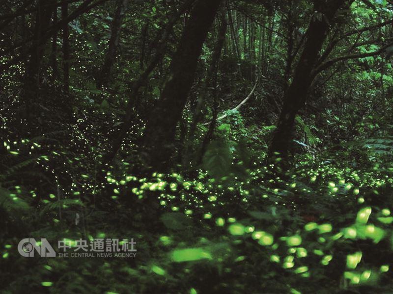 苗栗西湖渡假村園區從春節期間就陸續出現黑翅螢和黃緣螢,在樹林與草原之間展翅飛舞,露出點點螢光。(西湖渡假村提供)中央社記者管瑞平傳真 107年4月7日