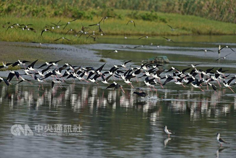 春天候鳥遷徙季節,新竹市金城湖聚集數千隻高蹺(行鳥),畫面壯觀好看,高蹺(行鳥)擁有一雙朱紅色長腿,配上身上黑白分明的羽毛,是濕地生態中優雅的鳥類。(新竹市政府提供)中央社記者魯鋼駿傳真 107年4月11日