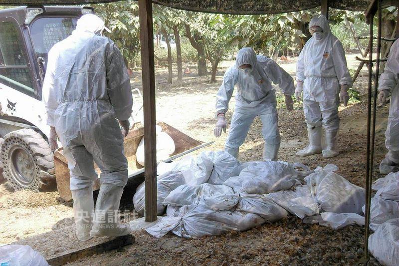 台南市歸仁區一處土雞場確診H5N2亞型高病原性禽流感,台南市動保處隨即派員到場執行逾萬隻土雞的撲殺作業。(台南市動保處提供)中央社記者楊思瑞台南傳真 107年4月16日