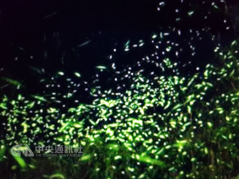 雲林古坑鄉長黃意玲表示,4月時節除可賞桐花外,在草嶺、石壁、樟湖、後棟山、華山、華南、桂林等地,處處藏有令人驚豔的螢火蟲秘境。(民眾提供)中央社記者葉子綱傳真 107年4月20日