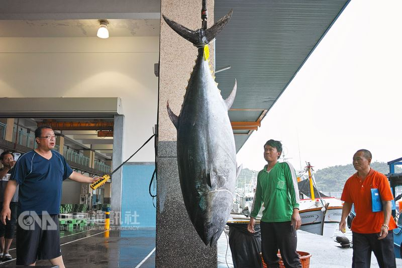 蘇澳籍漁船「日福26號」23日在釣魚台附近海域捕獲一條黑鮪魚,24日上岸經秤重後,重達211.2公斤,符合「第一鮪」條件,預計26日將拍賣。(民眾李忠衛提供)中央社記者沈如峰宜蘭縣傳真 107年4月24日