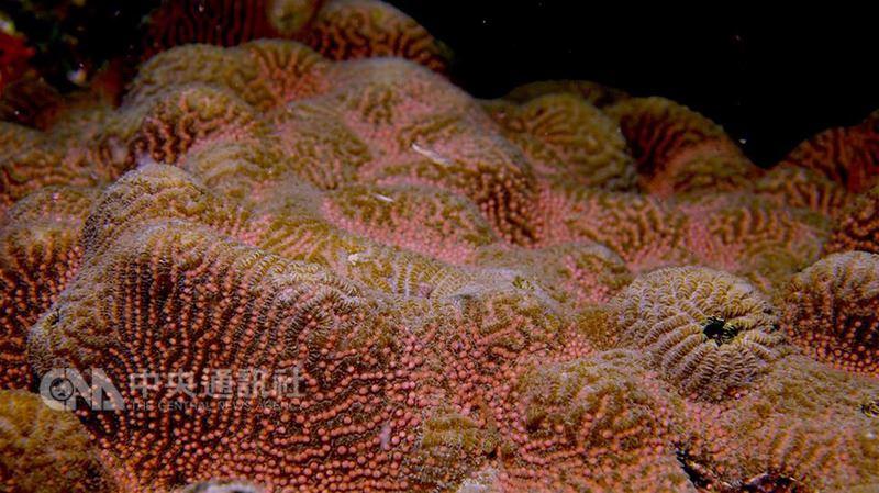 墾丁珊瑚每年在農曆3月23日「媽祖生」前後產卵,今年產卵期天氣不錯,珊瑚6日晚間爆量產卵,約比往年提早一天。圖為迷紋珊瑚。(蔡永春提供)中央社記者郭芷瑄傳真  107年5月8日