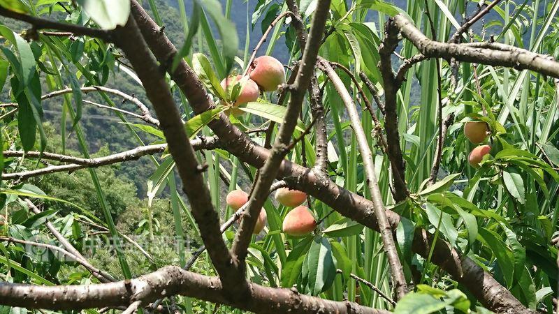台東水蜜桃上市了,山上猴子大軍也伺機下山搶收,農委會台東區農業改良場斑鳩分場長盧柏松表示,猴子被教聰明了,牠們知道套袋的水蜜桃就是快成熟了,因此專挑有套袋的摘,最好的防制方法還是改良場發明的「防猴網」。中央社記者盧太城台東攝 107年5月17日