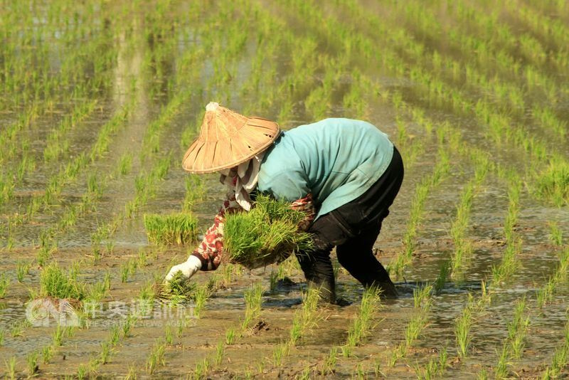 肥料自由買賣後價格穩定均一,水稻每公頃肥料約花費8000元,農民可以接受,肥料開銷已非主要生產成本。(中央社檔案照片)