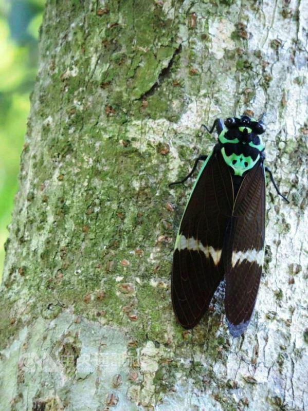 台灣爺蟬是台灣70多種蟬類中體型最大的,過去因大量被捕捉製成標本,加上棲地遭破壞,造成族群數量銳減,已被列為珍貴稀有保育類昆蟲。(嘉義林管處提供)中央社記者江俊亮傳真 107年5月22日