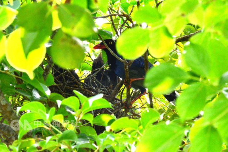 宜蘭佛光大學近期發現一對台灣藍鵲,在校園內的樹上築巢,養育5隻幼鳥。由於正值繁殖期,鳥爸、鳥媽護子心切,常常對經過的師生們進行「空襲」,師生經過時都要小心翼翼。(佛光大學提供)中央社記者沈如峰宜蘭傳真 107年5月24日