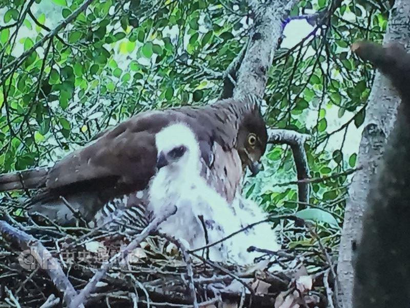 農委會林務局25日發表與台灣猛禽研究會等團體合作拍攝的紀錄片「城市遊俠-鳳頭蒼鷹」,揭開鳳頭蒼鷹的神祕面紗。(翻攝紀錄片畫面)中央社記者楊淑閔傳真 107年5月25日