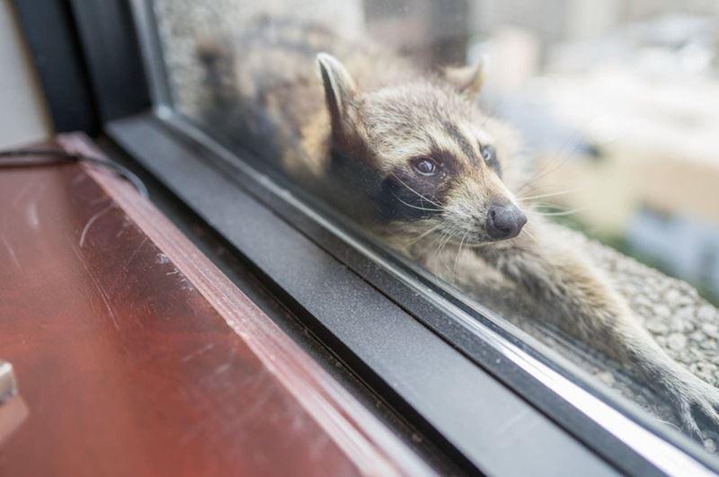 美國明尼蘇達州聖保羅一隻小浣熊一夕間成了網紅,牠攀上建築物外牆,受困在20多層樓高的窗台,讓圍觀人士全都捏把冷汗,也在推特上每小時持續更新小浣熊的動態。(圖取自明尼蘇達州公共廣播電台推特twitter.com/mprnews)