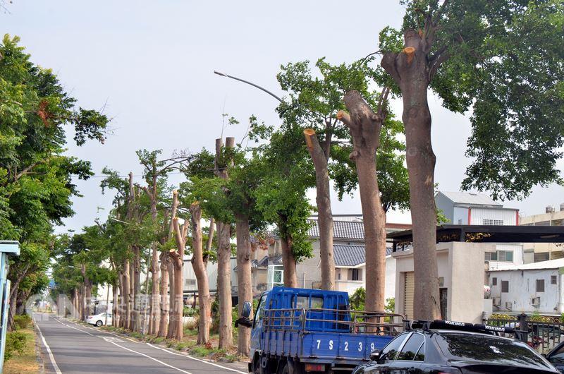台東市又見「斷頭樹」,興安路2公里長,上面數百棵5層樓高小葉欖仁被砍成光禿禿的2樓高。中央社記者盧太城台東攝 107年6月14日