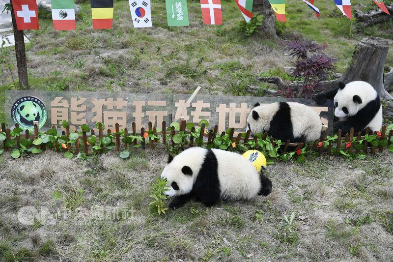 中國足球隊在預賽被淘汰,無緣世界盃足球賽,但中國官媒近日照樣很嗨地用另類「中國隊」宣傳,包括中國贊助、中國製造,還有超過4萬名中國球迷購票赴俄觀賽。圖為四川臥龍基地10日為8隻未滿周歲的貓熊寶寶佈置一場另類世足賽。(中新社提供)中央社 107年6月19日
