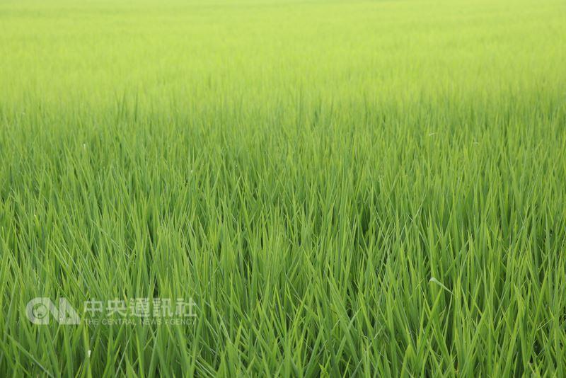 農委會農糧署東區分署表示,近期天氣不穩定,一旦有災害發生,政府將啟動災害穀收購,呼籲農民稻穀不要搶割;另有天然災害救助,保障農友權益。中央社記者李先鳳攝 107年6月20日
