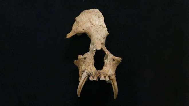 美國「科學」雜誌官網22日發布消息表示,在中英兩國學者的合作下,確認2006年在中國陝西西安出土的動物遺骸屬於一種現已滅絕的長臂猿新屬種。(圖取自ZSL Science推特網頁twitter.com/zslscience)