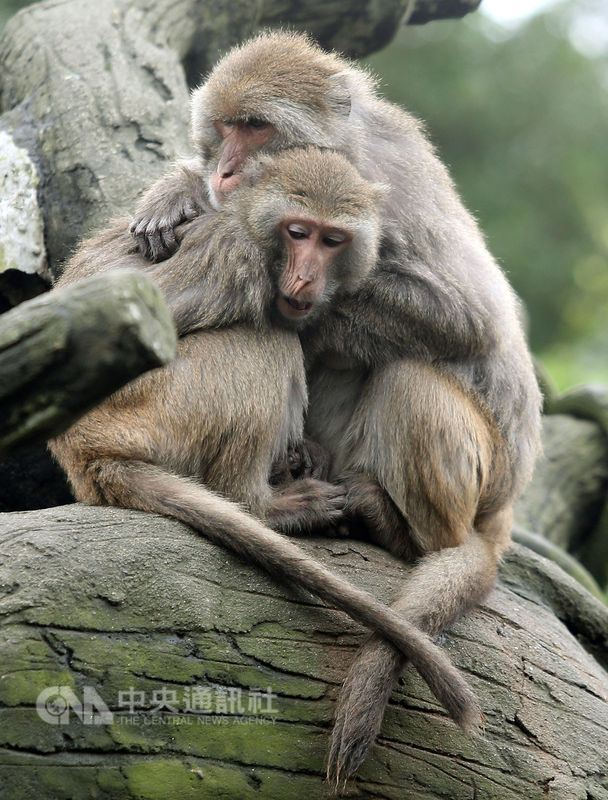 林務局25日拍板調降包含台灣獼猴、山羌等8種野生動物保育等級為一般類野生動物。(中央社檔案照片)