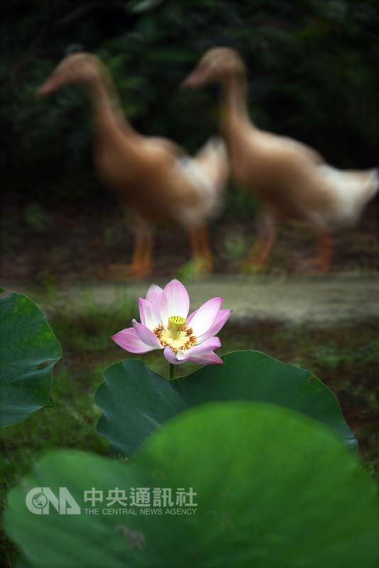 摄影家吴景腾追拍荷花,近日也与作家欧银钏合着摄影诗集「人生为荷」,其中作品「夫唱妇随」,画面是两只鹅经过荷塘,搭配欧银钏的新诗,从鹅的角度描述,让读者彷佛听见这对鹅夫妻的对话。(吴景腾提供)中央社记者郑景雯传真 107年7月11日