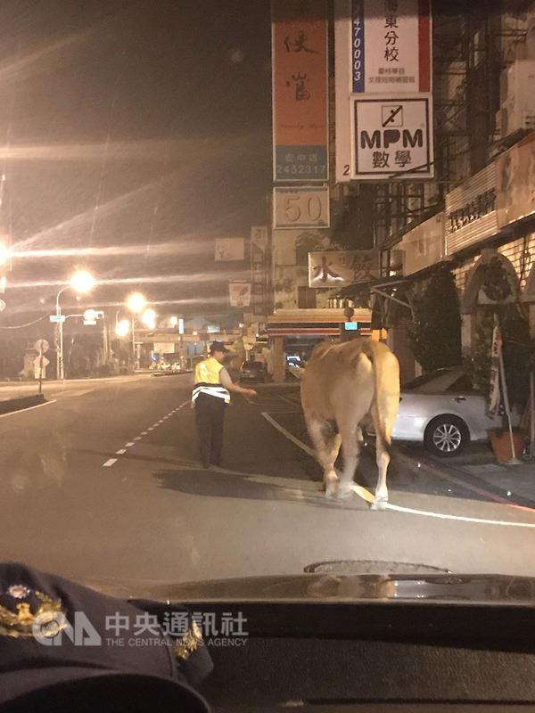 台南市安南區11日凌晨有一頭大黃牛在街上閒逛,警方獲報先將黃牛帶回派出所安置,正設法找飼主時,黃牛主人已趕到派出所報案,看到黃牛喜不自勝,黃牛也高興地搖著尾巴迎接主人。(翻攝照片)中央社記者張榮祥傳真 107年7月11日