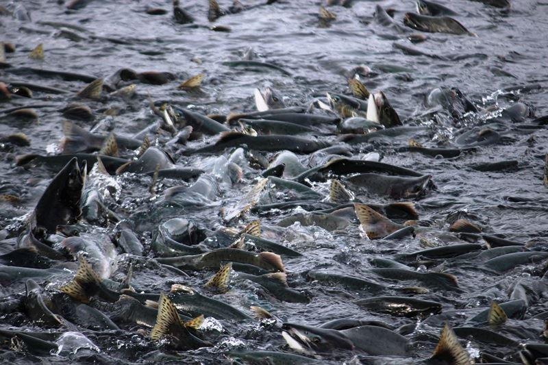 智利南部城市卡爾布科附近9座養殖場圍欄遭暴風雨破壞,造成至少60萬隻鮭魚「集體出走」,逃到野外。此為示意圖。(圖取自Pixabay圖庫)