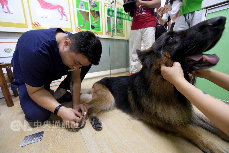 中國近年興起「萌寵經濟」,寵物也能看中醫針灸治療。圖為6月在廣西南寧市一動物診所內,醫生幫一隻後肢癱瘓的德國牧羊犬做針灸治療。(中新社提供)中央社 107年7月15日