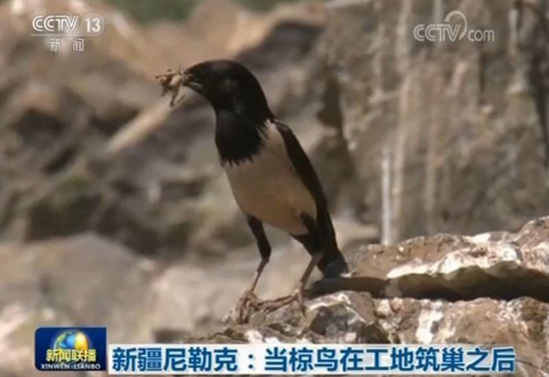 中國大陸新疆一項公路工程近日因為一群粉紅椋鳥而讓路,停工一個月。(圖取自央視新聞網頁news.cctv.com)