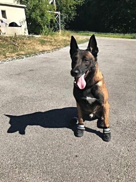 全球各地飆高溫,瑞士蘇黎世的警犬已在腳掌上穿戴特殊的鞋,以免爪掌被火燙的街道灼傷。(圖取自Stadtpolizei Zürich臉書www.facebook.com/StadtpolizeiZH)