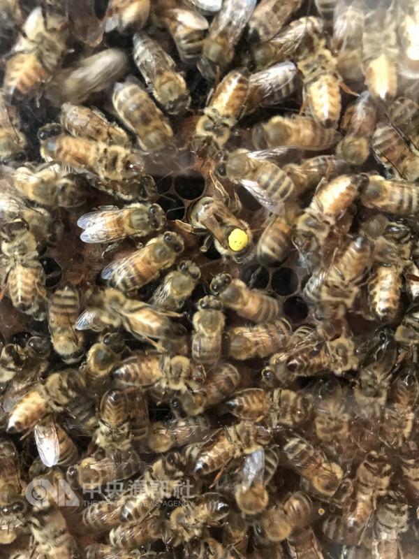蜜蜂存亡與糧食生產和生物多樣性高度相關,法國政府為遏止蜜蜂持續大量死亡,公告自9月1日起禁用5種含類尼古丁的農藥。中央社記者曾依璇巴黎攝  107年8月9日