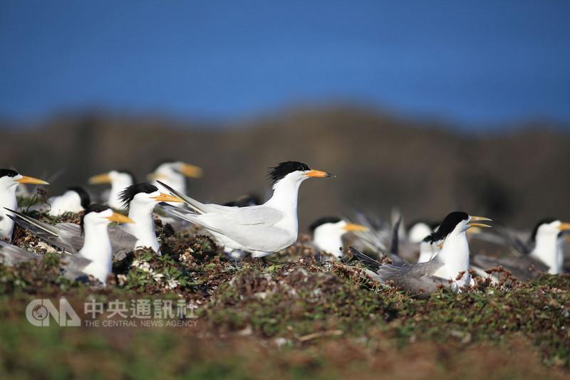 被IUCN紅色名錄列為「極危」鳥種、有「神話之鳥」之稱的黑嘴端鳳頭燕鷗,經過澎湖縣府委外長期追蹤調查,確認在澎湖繁殖,為全世界目前已確認的第3處繁殖地。(澎湖野鳥學會組長鄭謙遜提供)中央社 107年8月10日
