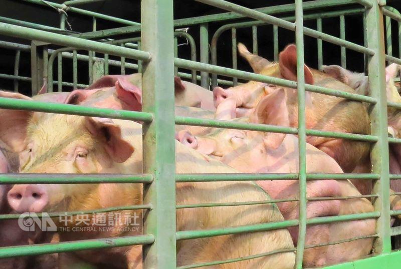 行政院農業委員會動植物防疫檢疫局11日表示,6日起開放英國豬肉進口,評估不會衝擊國內養豬產業。(中央社檔案照片)