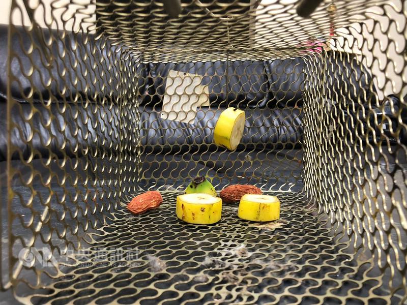 苗栗縣警察局勤務指揮中心13日表示,最近接到一名男子打110報案,稱家中有聰明的老鼠築巢,請求警方協助用帶皮的香蕉做餌掛老鼠籠。中央社記者管瑞平攝 107年8月13日
