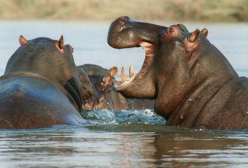 每年非洲約有200人死於被河馬攻擊,其中肯亞今年已經有6個死亡案例。(圖取自pixabay圖庫)