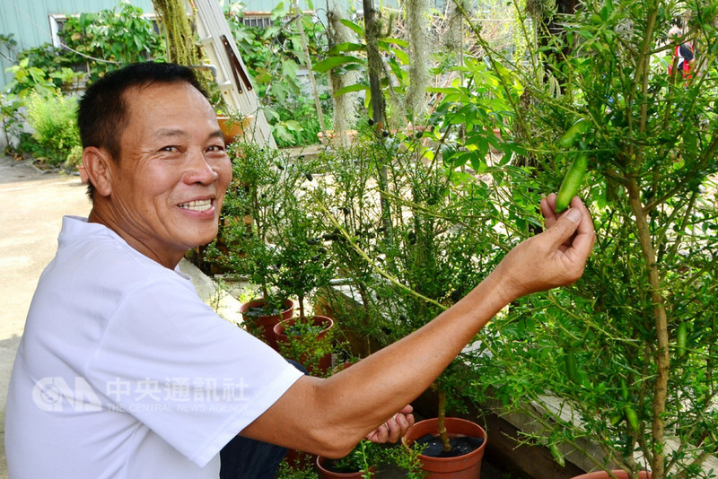 台南市新化區園藝業者林錦文研究栽種原產於澳洲的「手指檸檬」,經過6年的培育,成功種出適合台灣氣候的果樹,並已開花結果。中央社記者楊思瑞攝 107年8月19日