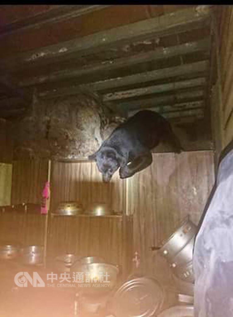 林務局台東林區管理處副處長黃群策20日受訪表示,9日起至今已發現4次台灣黑熊在山屋周邊活動,19日又發現一隻黑熊進入向陽山屋,經緊急會議後,決定自22日起暫時封閉嘉明湖國家步道15天。(天馬登山隊提供)中央社記者李先鳳傳真 107年8月20日