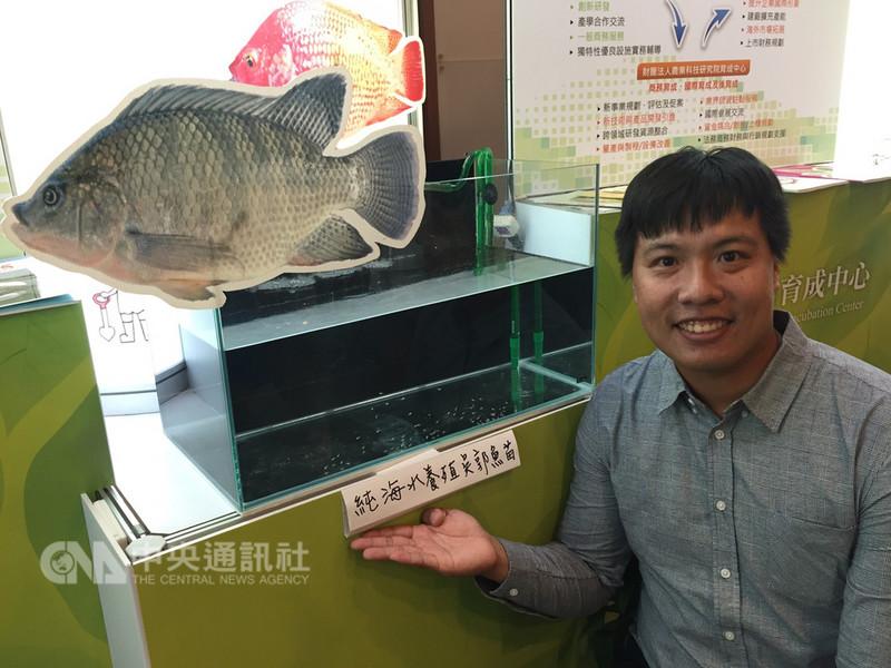 農委會水試所培育出全球唯一純海水養殖的大型吳郭魚,已技轉屏東縣業者著手繁殖魚苗,預計明年中後量產上市。中央社記者楊淑閔攝 107年9月8日