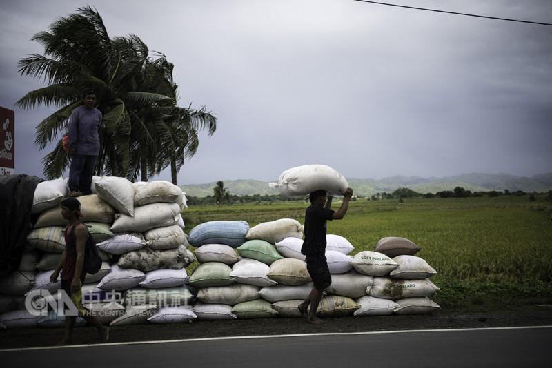 強颱山竹撲向菲律賓北部呂宋島,首當其衝的兩省已進入最高的第4級警報狀態。圖為伊薩貝拉省農民14日上午趕忙收割農作物。(綠色和平組織 Greenpeace提供)中央社記者林行健馬尼拉傳真 107年9月14日