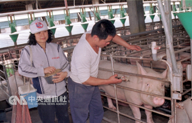 民國86年台灣毛豬爆發口蹄疫情,經歷21年才即將脫離疫區。圖為86年宜蘭養豬戶注射口蹄疫苗。(中央社檔案照片)
