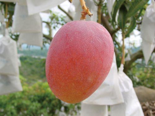 【鄉間好事】走訪夏日紅寶石─臺南國際芒果節