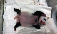 大貓熊寶寶滿月(1)