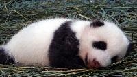 圓圓鋪竹葉嬰兒床 圓仔安穩睡