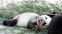 入秋正好眠  圓仔睡到翻肚
