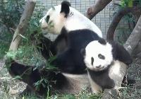 媽媽吃竹子  圓仔自己找樂子