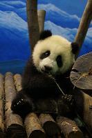 圓仔:竹子真好吃