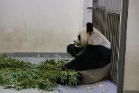 圓仔學吃竹子 動作像媽媽