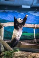 圓仔變身功夫貓熊 踩梅花樁飛撲食物