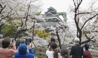 日本熊本地震將滿1週年 熊本櫻花盛開