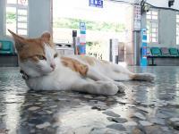 以水里車站為家 黃白花貓有如貓站長