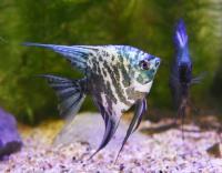 阿凡達神仙魚