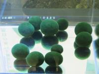 日本阿寒湖湖中寶石毬藻